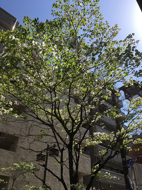 image of a white flowering tree in Kawasaki