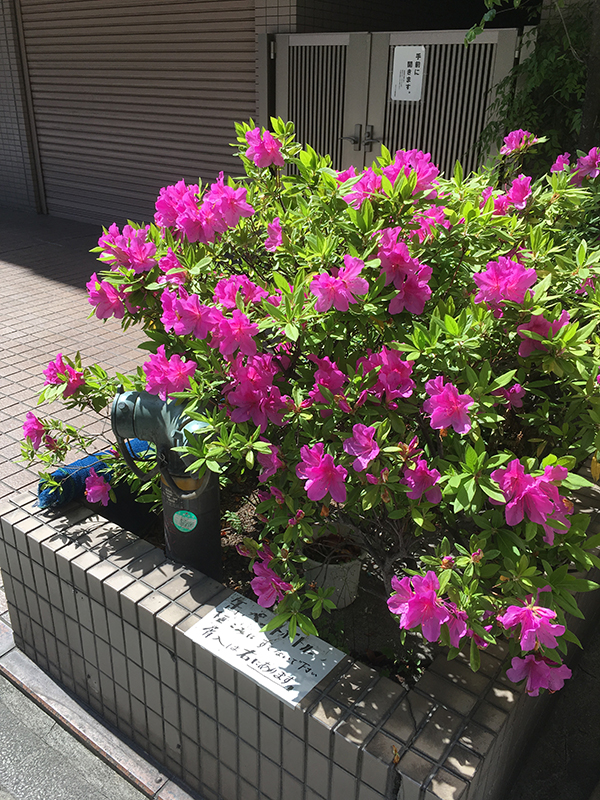 image of pink flowers in Kawasaki