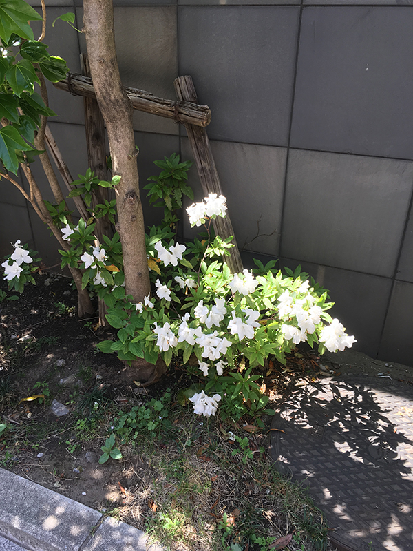 image of white flowers in Kawasaki